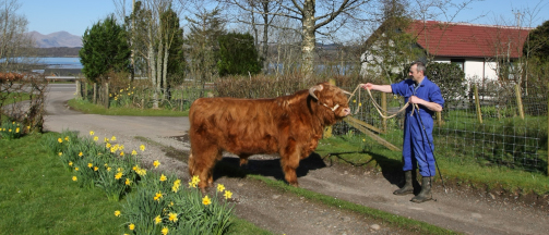 Highland Cattle on the Downs